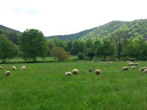 ovelles garrotxa