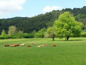 vaques garrotxa 2